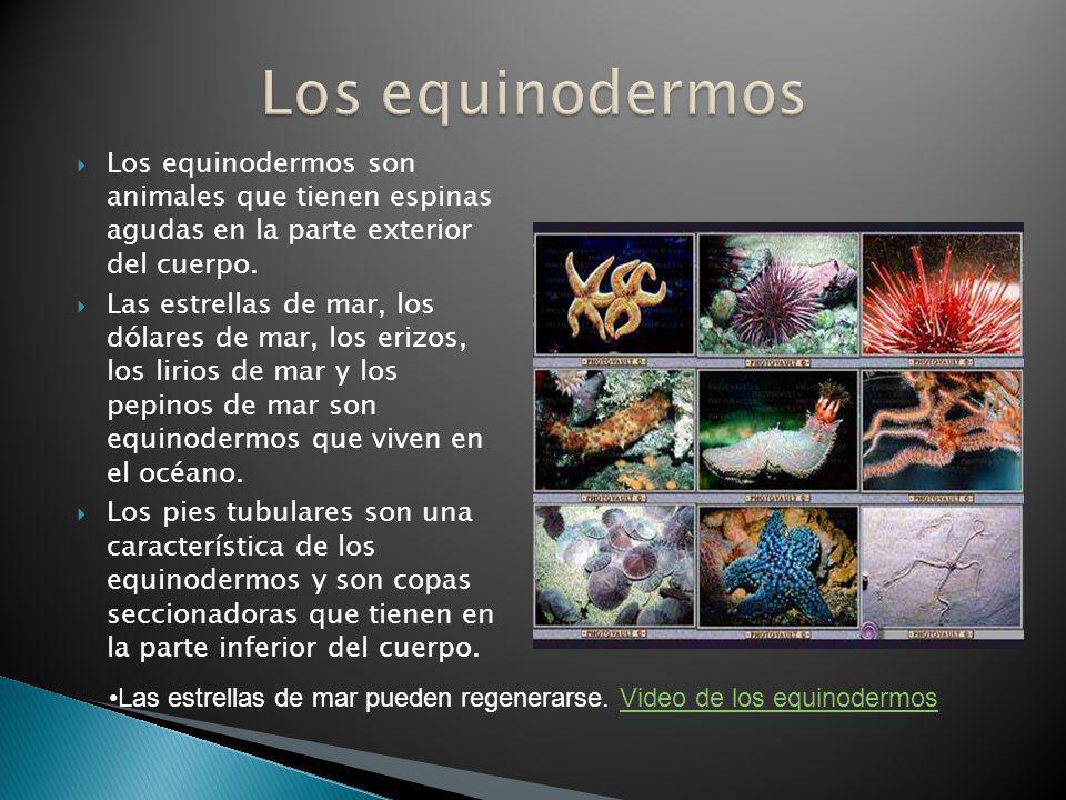 Los equinodermos son animales que tienen espinas agudas en la parte exterior del cuerpo. Las estrellas de mar, los dólares de mar, los erizos, los lir