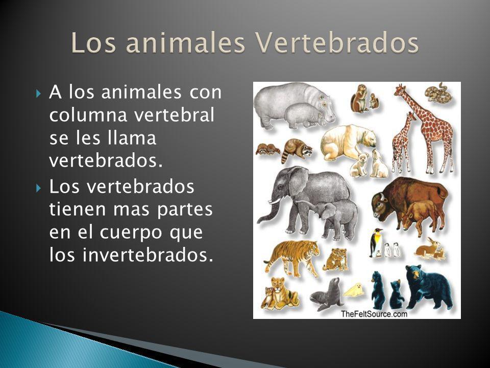 A los animales con columna vertebral se les llama vertebrados. Los vertebrados tienen mas partes en el cuerpo que los invertebrados.