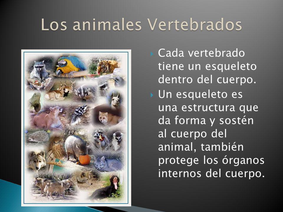 Cada vertebrado tiene un esqueleto dentro del cuerpo. Un esqueleto es una estructura que da forma y sostén al cuerpo del animal, también protege los ó