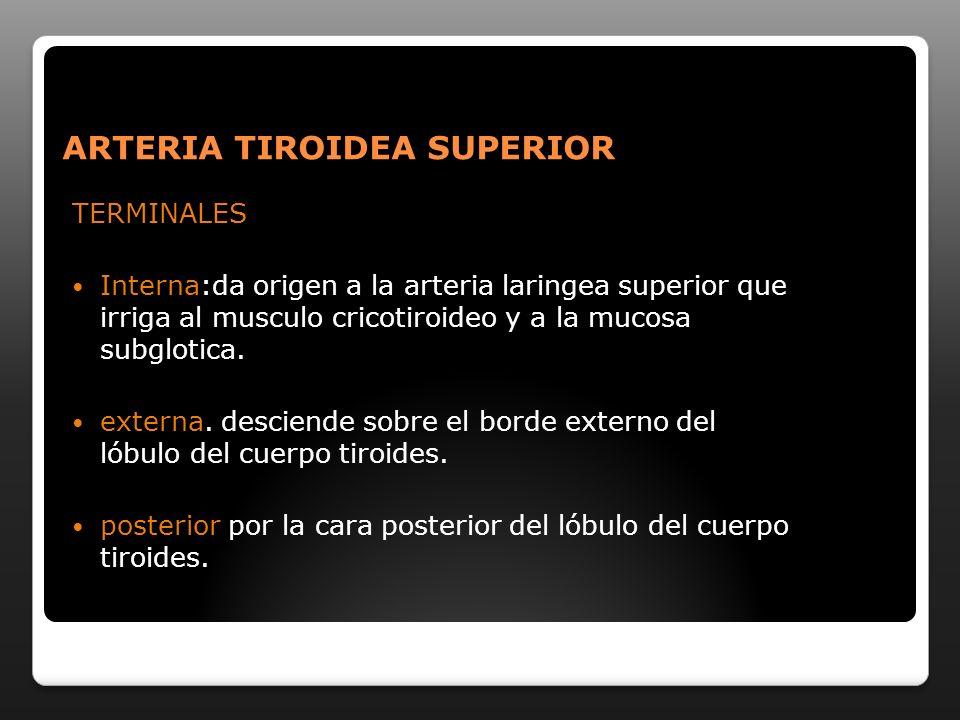 ARTERIA TIROIDEA SUPERIOR TERMINALES Interna:da origen a la arteria laringea superior que irriga al musculo cricotiroideo y a la mucosa subglotica. ex