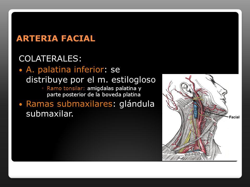 ARTERIA FACIAL COLATERALES: A. palatina inferior: se distribuye por el m. estilogloso Ramo tonsilar: amigdalas palatina y parte posterior de la boveda