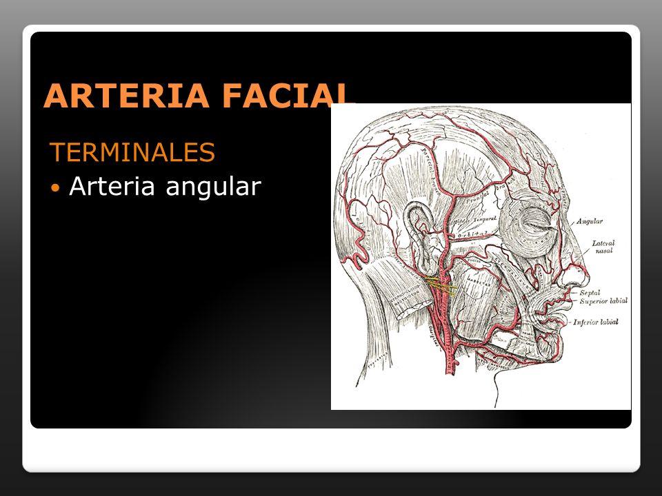 ARTERIA FACIAL TERMINALES Arteria angular