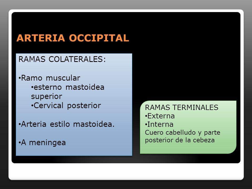 RAMAS COLATERALES: Ramo muscular esterno mastoidea superior Cervical posterior Arteria estilo mastoidea. A meningea RAMAS COLATERALES: Ramo muscular e