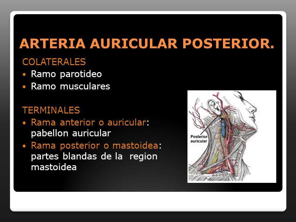ARTERIA AURICULAR POSTERIOR. COLATERALES Ramo parotideo Ramo musculares TERMINALES Rama anterior o auricular: pabellon auricular Rama posterior o mast