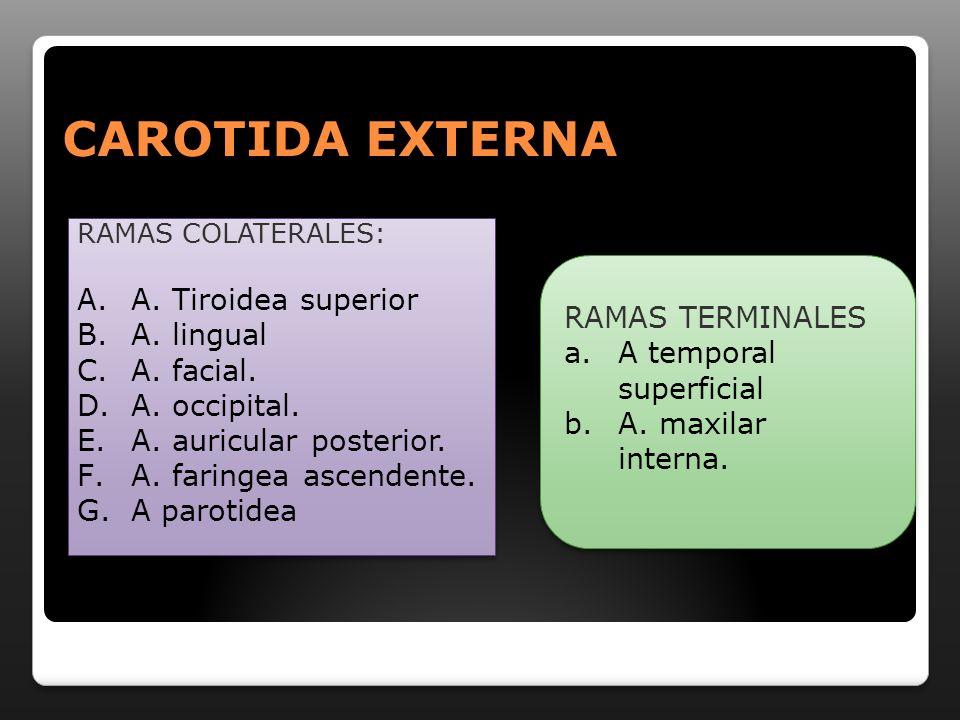CAROTIDA EXTERNA RAMAS COLATERALES: A.A. Tiroidea superior B.A. lingual C.A. facial. D.A. occipital. E.A. auricular posterior. F.A. faringea ascendent