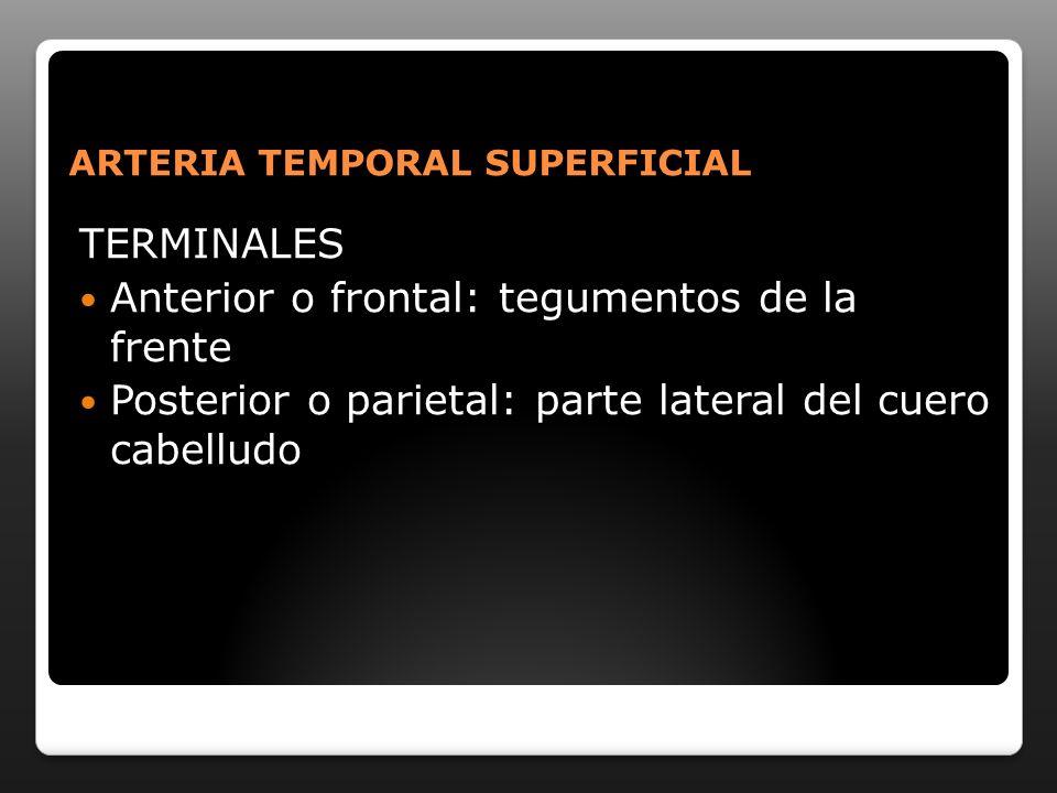 ARTERIA TEMPORAL SUPERFICIAL TERMINALES Anterior o frontal: tegumentos de la frente Posterior o parietal: parte lateral del cuero cabelludo