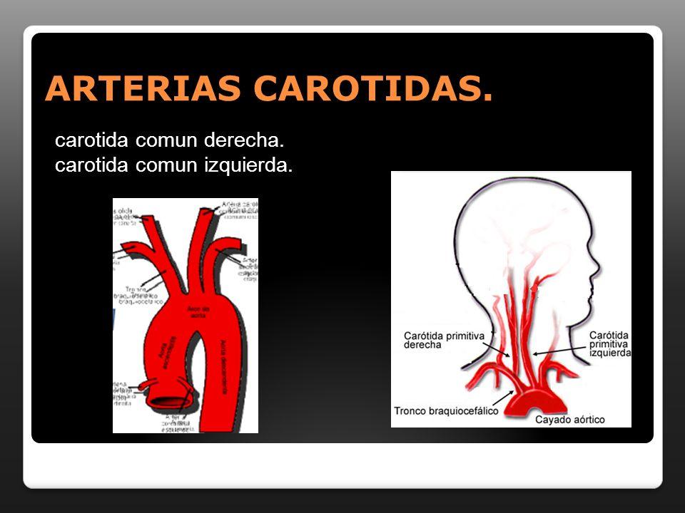 ARTERIAS CAROTIDAS. carotida comun derecha. carotida comun izquierda.