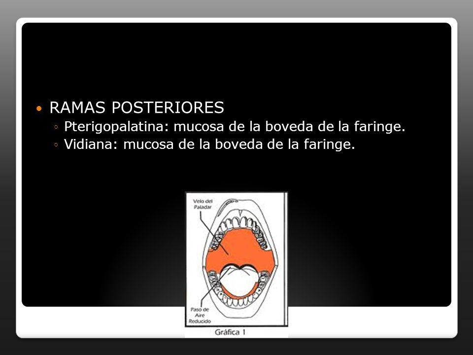 RAMAS POSTERIORES Pterigopalatina: mucosa de la boveda de la faringe. Vidiana: mucosa de la boveda de la faringe.