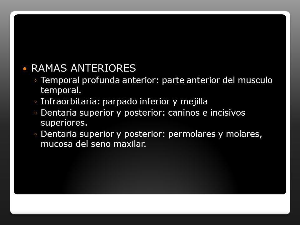 RAMAS ANTERIORES Temporal profunda anterior: parte anterior del musculo temporal. Infraorbitaria: parpado inferior y mejilla Dentaria superior y poste