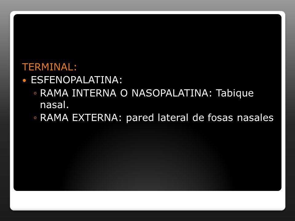 TERMINAL: ESFENOPALATINA: RAMA INTERNA O NASOPALATINA: Tabique nasal. RAMA EXTERNA: pared lateral de fosas nasales