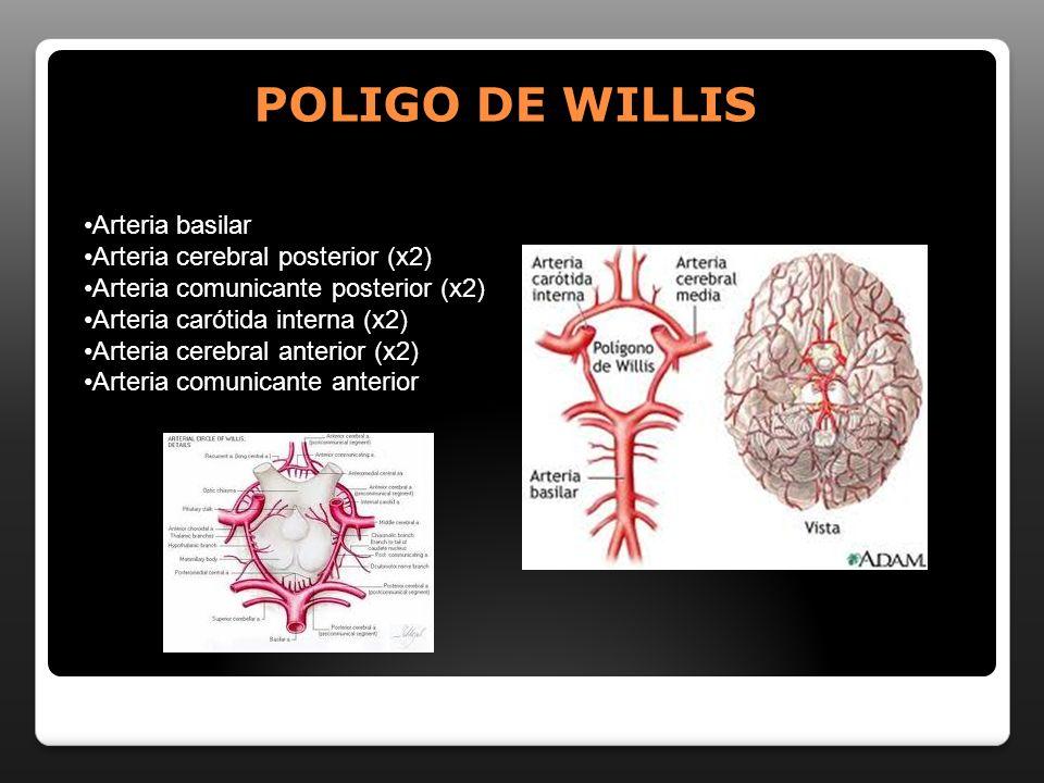 POLIGO DE WILLIS Arteria basilar Arteria cerebral posterior (x2) Arteria comunicante posterior (x2) Arteria carótida interna (x2) Arteria cerebral ant