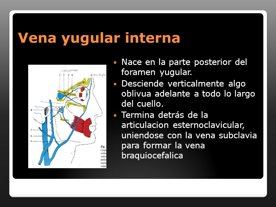 Vena yugular interna Nace en la parte posterior del foramen yugular. Desciende verticalmente algo oblivua adelante a todo lo largo del cuello. Termina