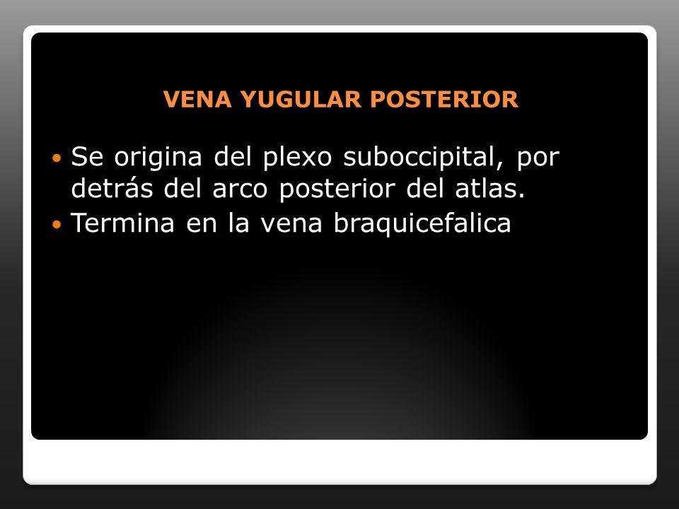 VENA YUGULAR POSTERIOR Se origina del plexo suboccipital, por detrás del arco posterior del atlas. Termina en la vena braquicefalica