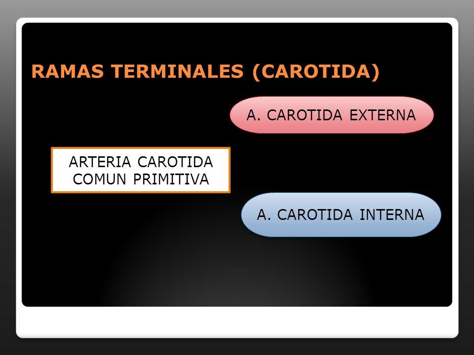 RAMAS TERMINALES (CAROTIDA) ARTERIA CAROTIDA COMUN PRIMITIVA A. CAROTIDA EXTERNA A. CAROTIDA INTERNA