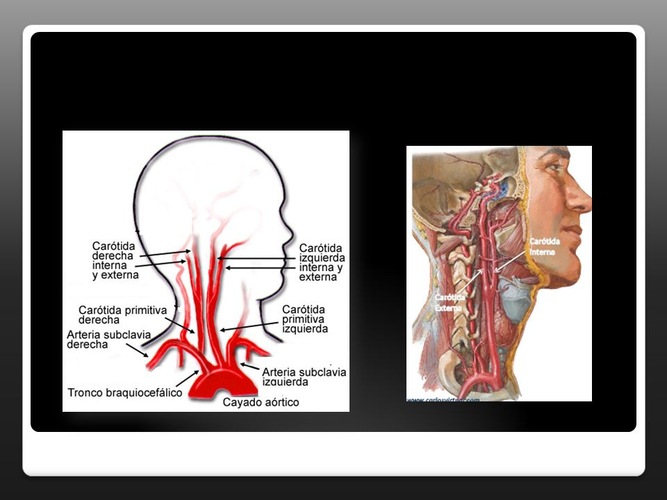 ARTERIA FACIAL A labial inferior y superior: se desprende de la facial a nivel de las comisuras, se dirigen hacia la linea media donde se anastomosan con el lado opuesto.