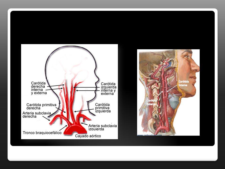 POLIGO DE WILLIS Arteria basilar Arteria cerebral posterior (x2) Arteria comunicante posterior (x2) Arteria carótida interna (x2) Arteria cerebral anterior (x2) Arteria comunicante anterior