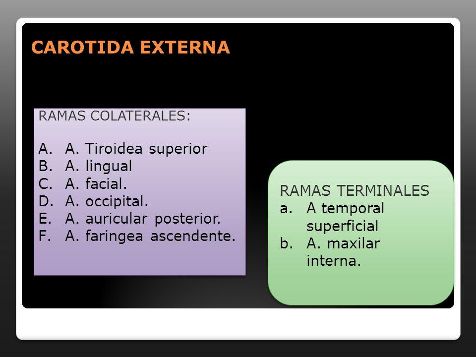 RAMAS DESCENDENTES DENTARIA INFERIOR: dtes inferiores TERMINALES INCISIVA: Ccaninos, insicivos inferiores.
