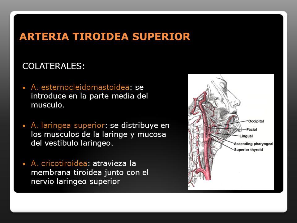 ARTERIA TIROIDEA SUPERIOR COLATERALES: A. esternocleidomastoidea: se introduce en la parte media del musculo. A. laringea superior: se distribuye en l