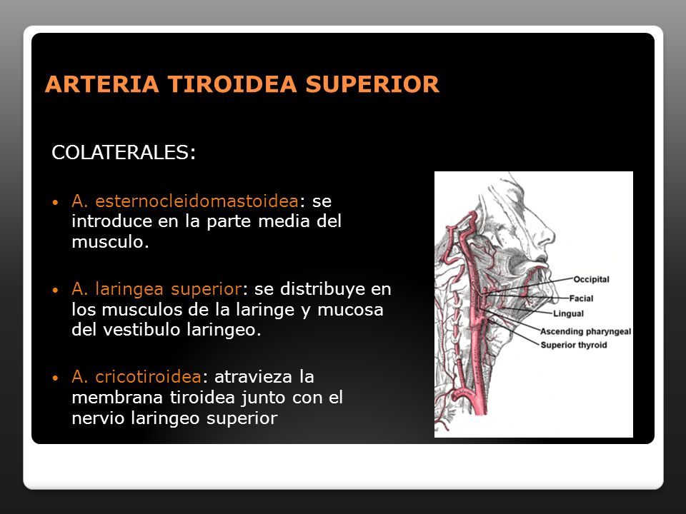 RAMAS DESCENDENTES: Maseterina: pared profunda del masetero Temporal profunda superior: parte posterior del m temporal.
