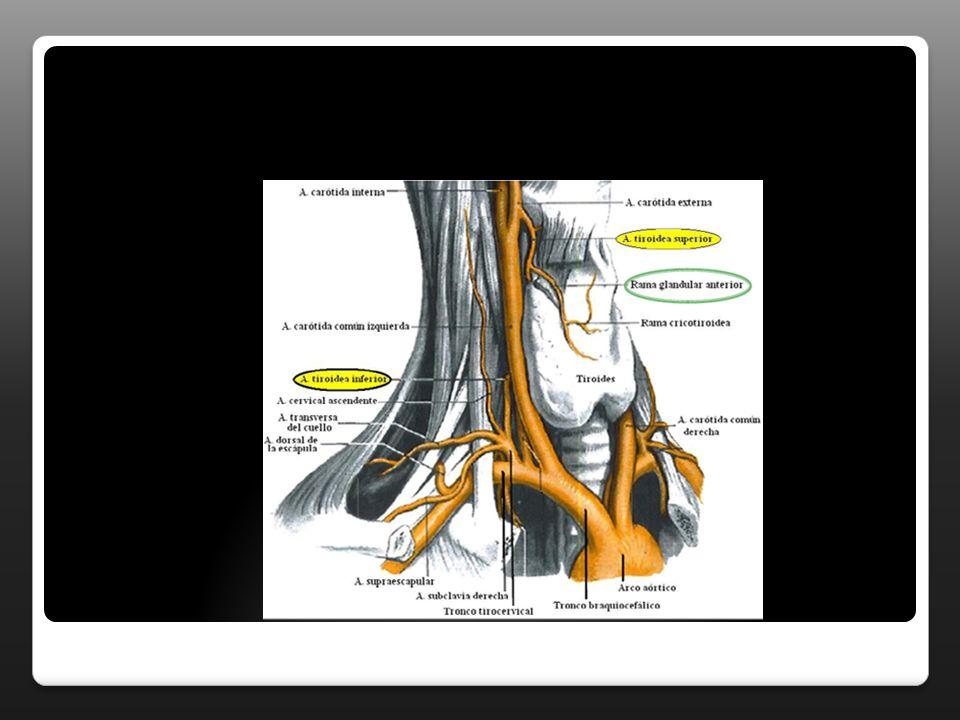 ARTERIA TIROIDEA SUPERIOR TERMINALES Interna:da origen a la arteria laringea superior que irriga al musculo cricotiroideo y a la mucosa subglotica.