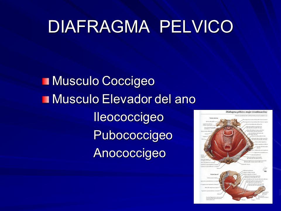 DIAFRAGMA PELVICO Musculo Coccigeo Musculo Elevador del ano Ileococcigeo Ileococcigeo Pubococcigeo Pubococcigeo Anococcigeo Anococcigeo