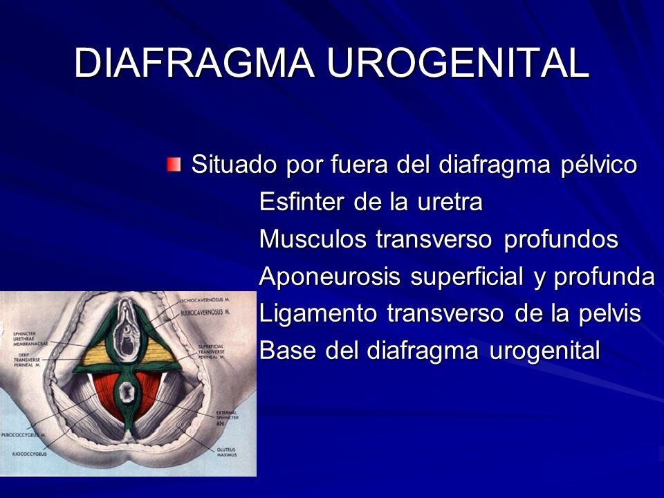 DIAFRAGMA UROGENITAL Situado por fuera del diafragma pélvico Esfinter de la uretra Esfinter de la uretra Musculos transverso profundos Musculos transv