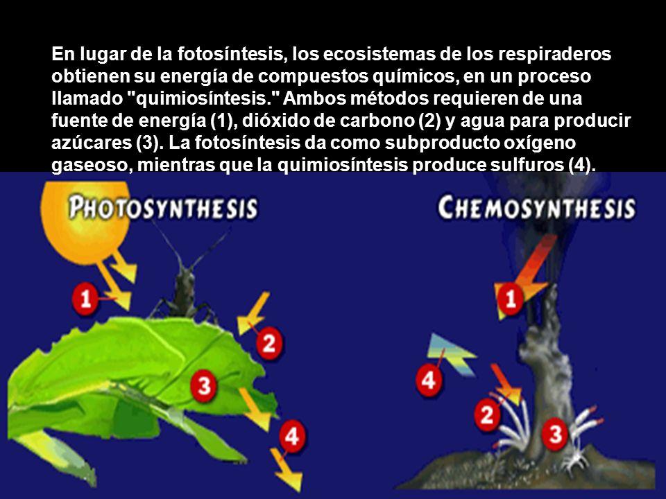 En lugar de la fotosíntesis, los ecosistemas de los respiraderos obtienen su energía de compuestos químicos, en un proceso llamado