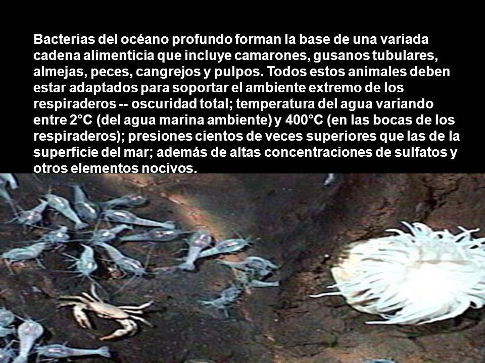 Bacterias del océano profundo forman la base de una variada cadena alimenticia que incluye camarones, gusanos tubulares, almejas, peces, cangrejos y p