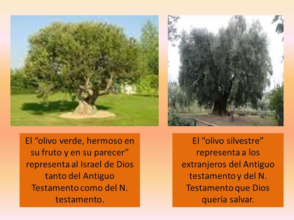 El olivo verde, hermoso en su fruto y en su parecer representa al Israel de Dios tanto del Antiguo Testamento como del N. testamento. El olivo silvest