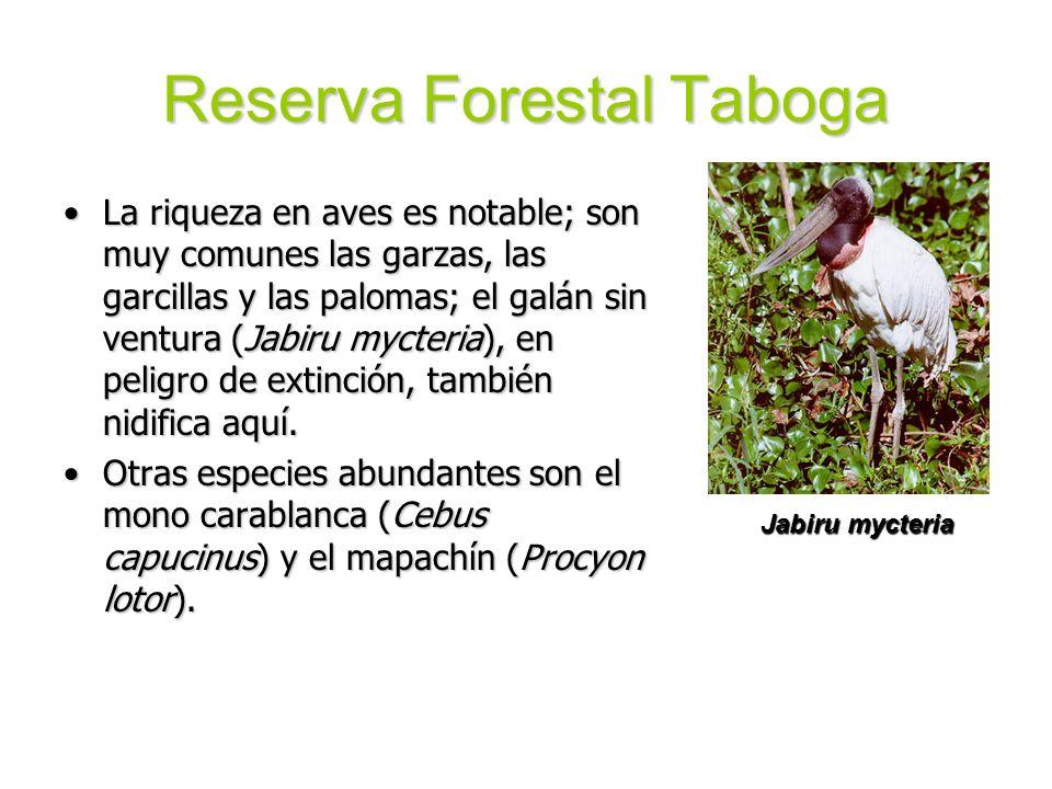 Reserva Forestal Taboga La riqueza en aves es notable; son muy comunes las garzas, las garcillas y las palomas; el galán sin ventura (Jabiru mycteria)