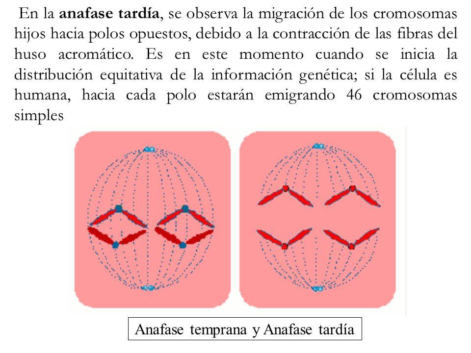 En la anafase tardía, se observa la migración de los cromosomas hijos hacia polos opuestos, debido a la contracción de las fibras del huso acromático.