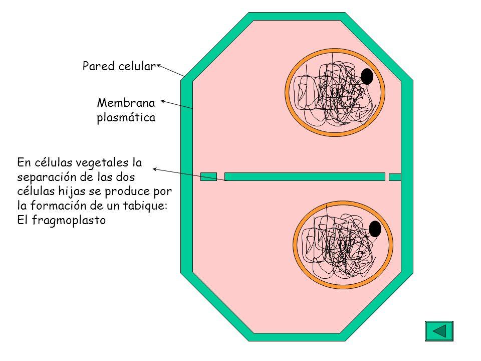 0 0 En células vegetales la separación de las dos células hijas se produce por la formación de un tabique: El fragmoplasto Pared celular Membrana plas