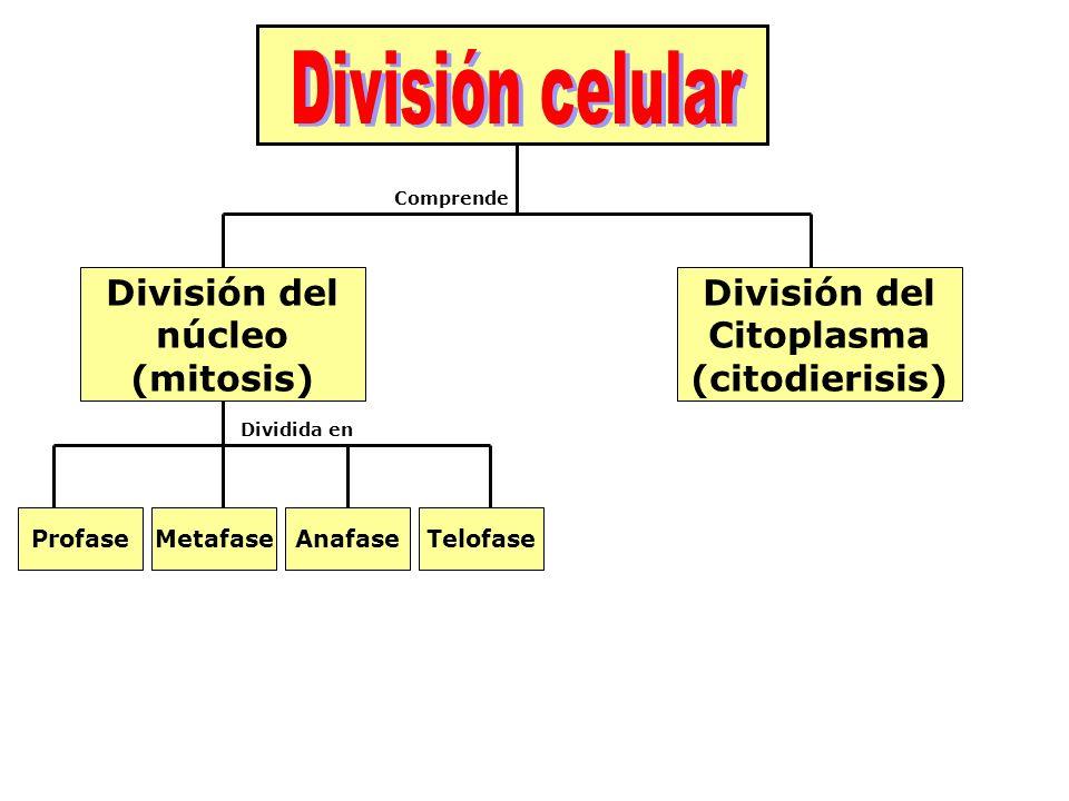 División del núcleo (mitosis) División del Citoplasma (citodierisis) ProfaseMetafaseAnafaseTelofase Comprende Dividida en