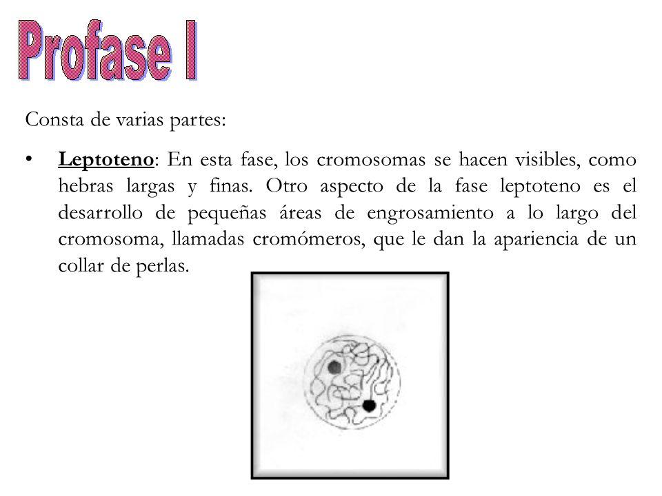 Consta de varias partes: Leptoteno: En esta fase, los cromosomas se hacen visibles, como hebras largas y finas. Otro aspecto de la fase leptoteno es e