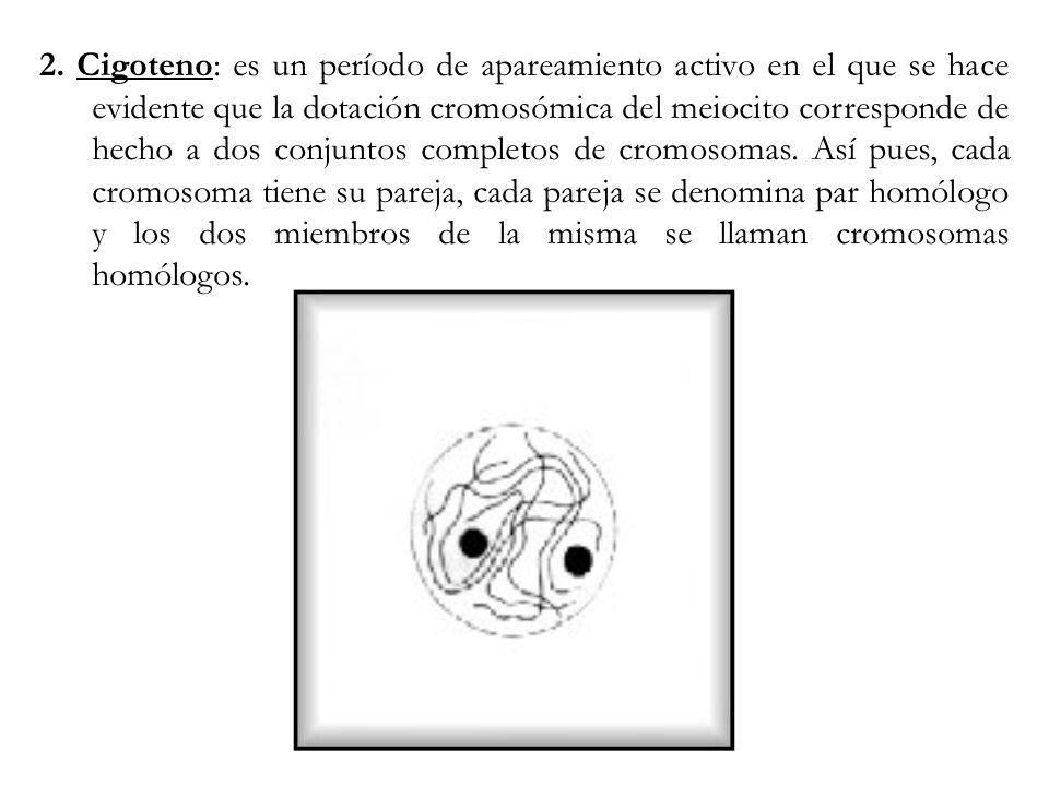 2. Cigoteno: es un período de apareamiento activo en el que se hace evidente que la dotación cromosómica del meiocito corresponde de hecho a dos conju