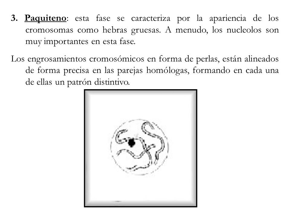 3. Paquiteno: esta fase se caracteriza por la apariencia de los cromosomas como hebras gruesas. A menudo, los nucleolos son muy importantes en esta fa