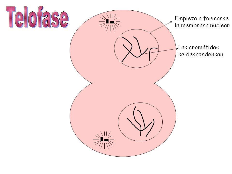 Empieza a formarse la membrana nuclear Las cromátidas se descondensan