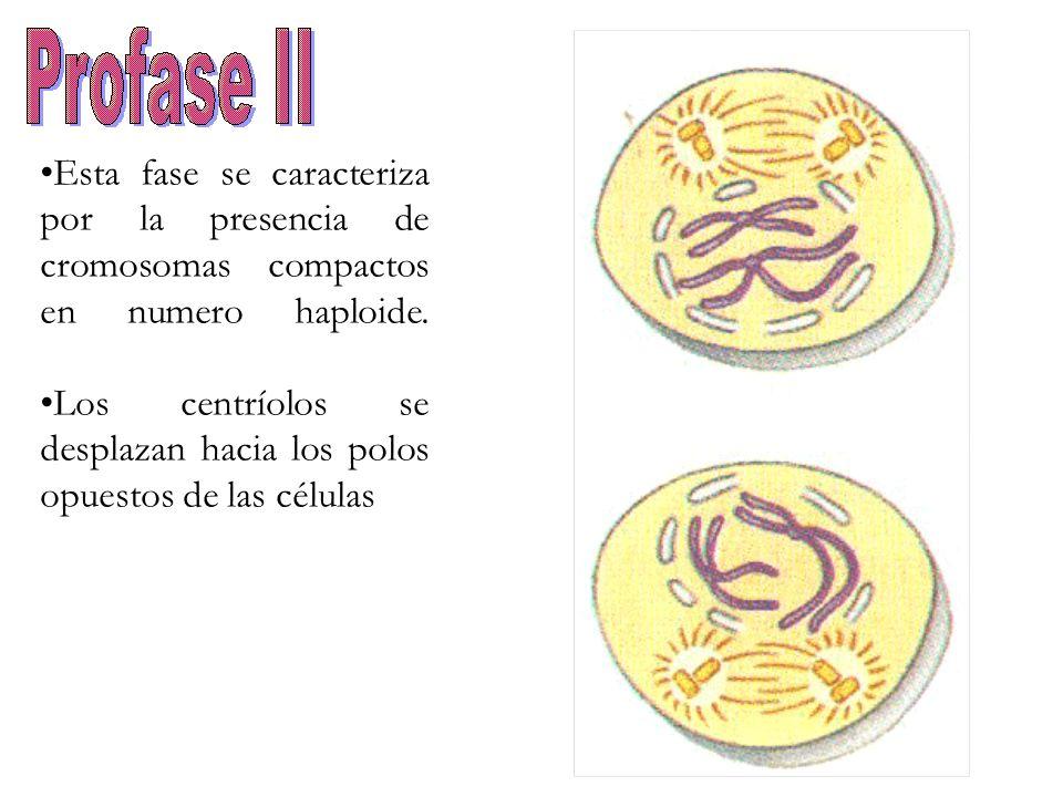 Esta fase se caracteriza por la presencia de cromosomas compactos en numero haploide. Los centríolos se desplazan hacia los polos opuestos de las célu