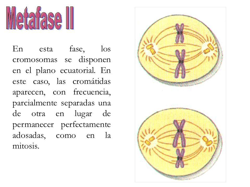 En esta fase, los cromosomas se disponen en el plano ecuatorial. En este caso, las cromátidas aparecen, con frecuencia, parcialmente separadas una de