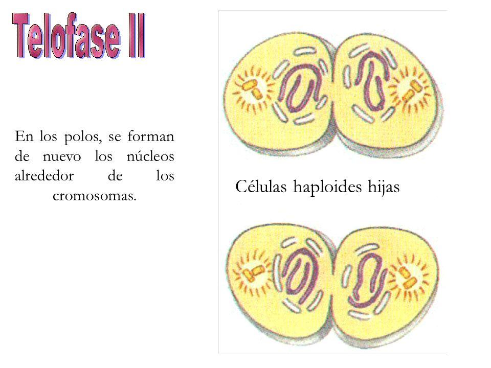 En los polos, se forman de nuevo los núcleos alrededor de los cromosomas. Células haploides hijas