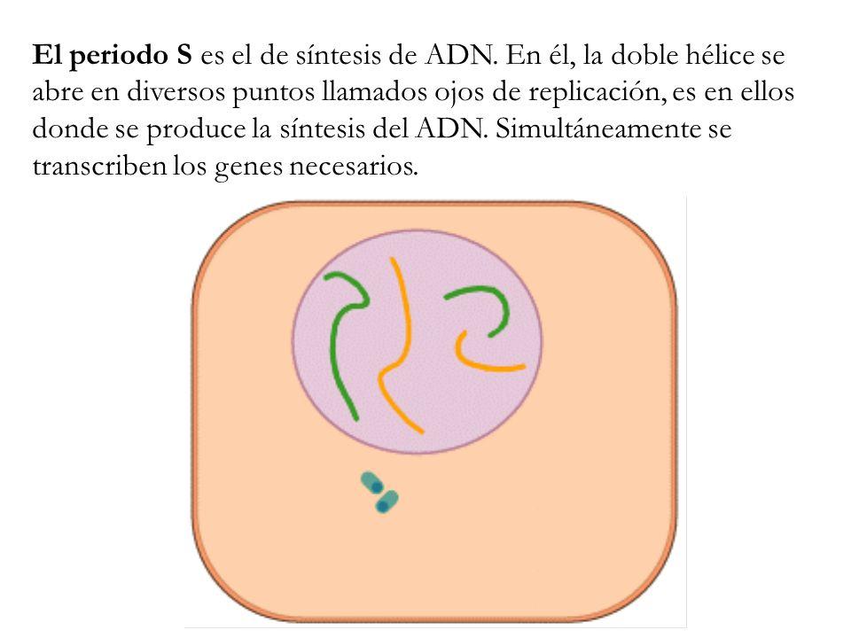 El periodo S es el de síntesis de ADN. En él, la doble hélice se abre en diversos puntos llamados ojos de replicación, es en ellos donde se produce la
