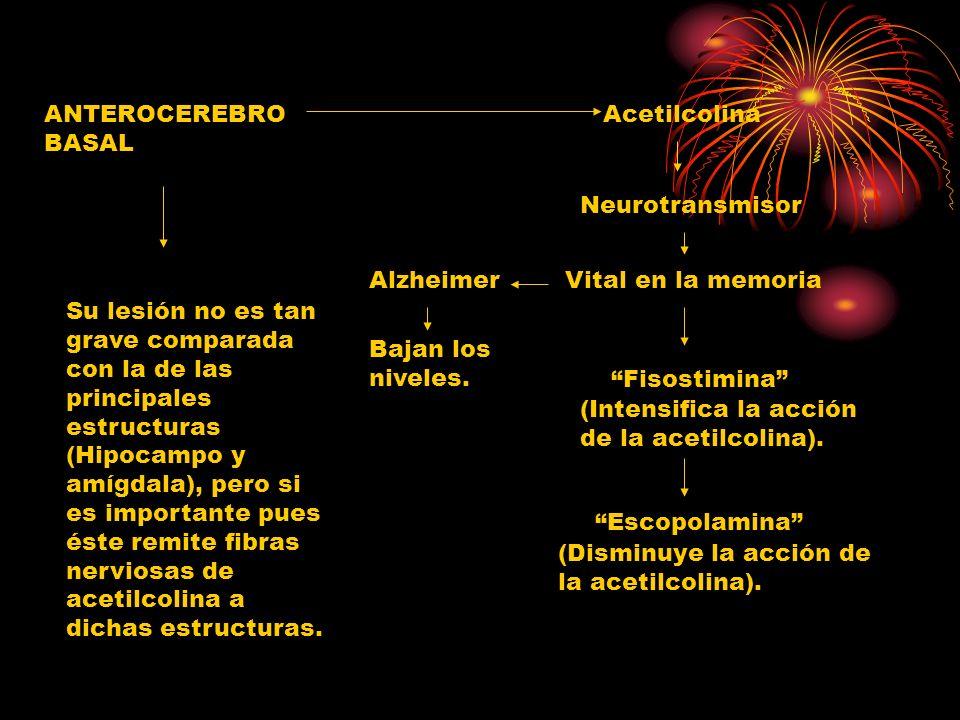 ANTEROCEREBRO BASAL Acetilcolina Neurotransmisor Vital en la memoriaAlzheimer Bajan los niveles. Su lesión no es tan grave comparada con la de las pri