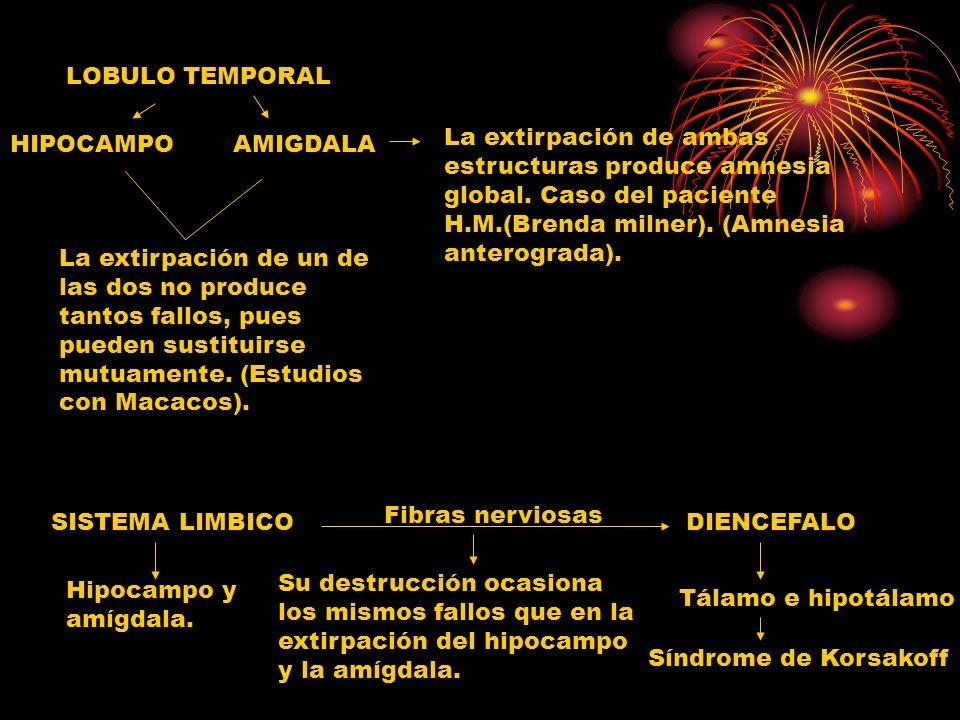 LOBULO TEMPORAL HIPOCAMPOAMIGDALA La extirpación de ambas estructuras produce amnesia global. Caso del paciente H.M.(Brenda milner). (Amnesia anterogr