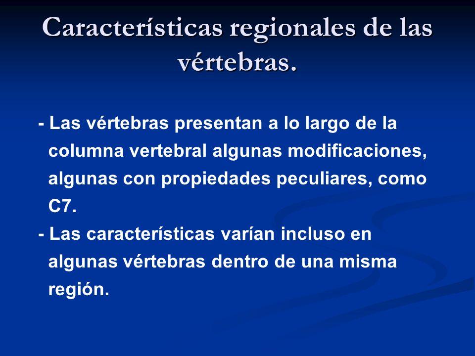 Características regionales de las vértebras. - Las vértebras presentan a lo largo de la columna vertebral algunas modificaciones, algunas con propieda