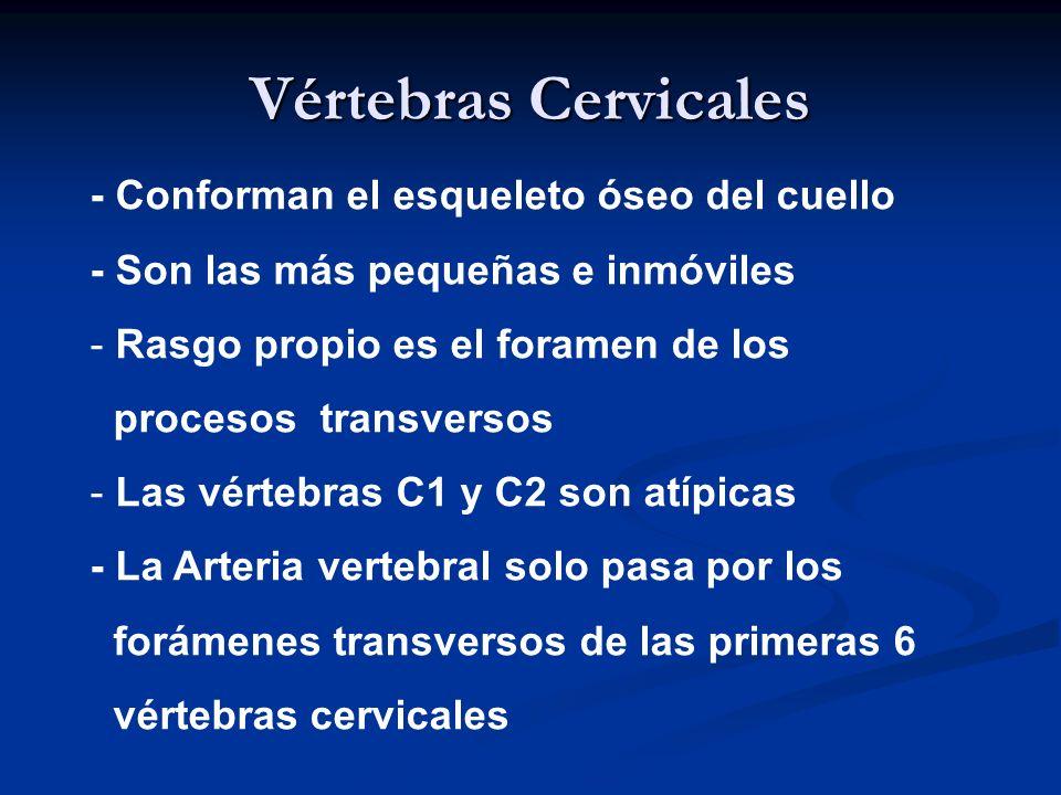 Vértebras Cervicales - Conforman el esqueleto óseo del cuello - Son las más pequeñas e inmóviles - Rasgo propio es el foramen de los procesos transver