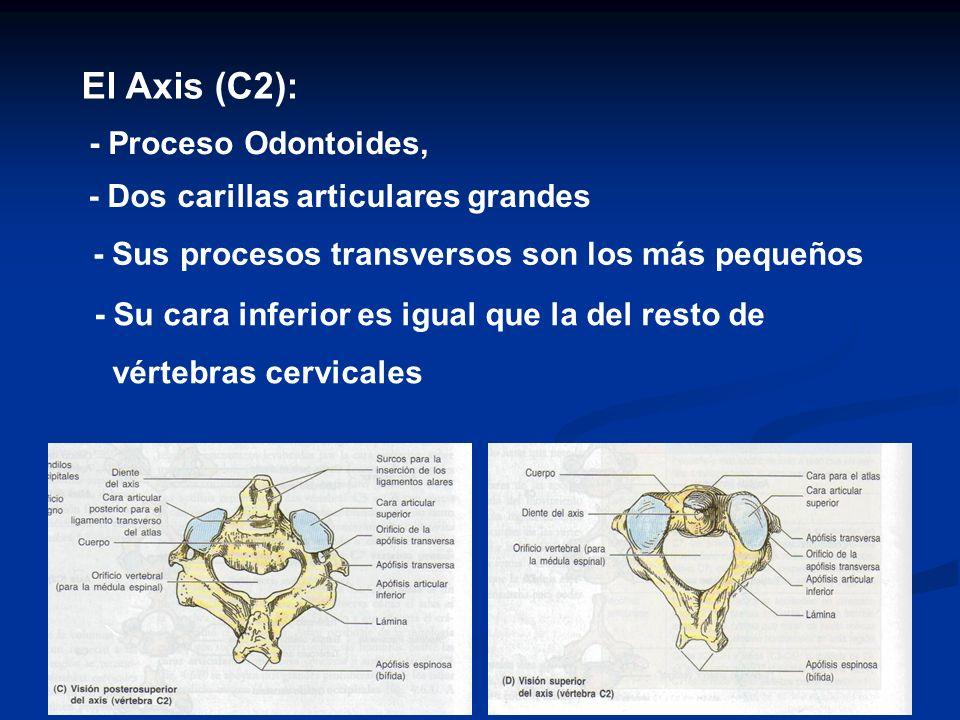 El Axis (C2): - Proceso Odontoides, - Dos carillas articulares grandes - Sus procesos transversos son los más pequeños - Su cara inferior es igual que