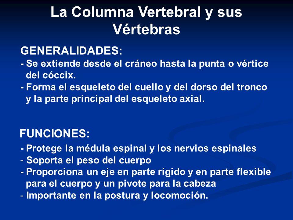 Arco Vertebral: Esta se encuentra detrás del cuerpo de la vértebra y forma parte de ésta; lo constituyen los pedículos derecho e izquierdo y las láminas.