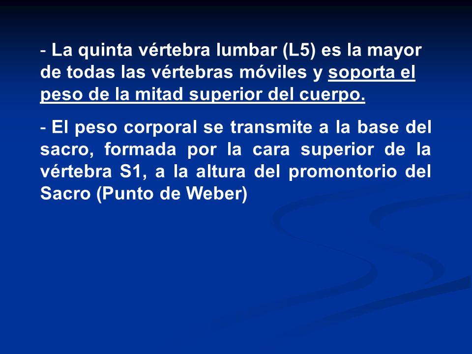 - La quinta vértebra lumbar (L5) es la mayor de todas las vértebras móviles y soporta el peso de la mitad superior del cuerpo. - El peso corporal se t