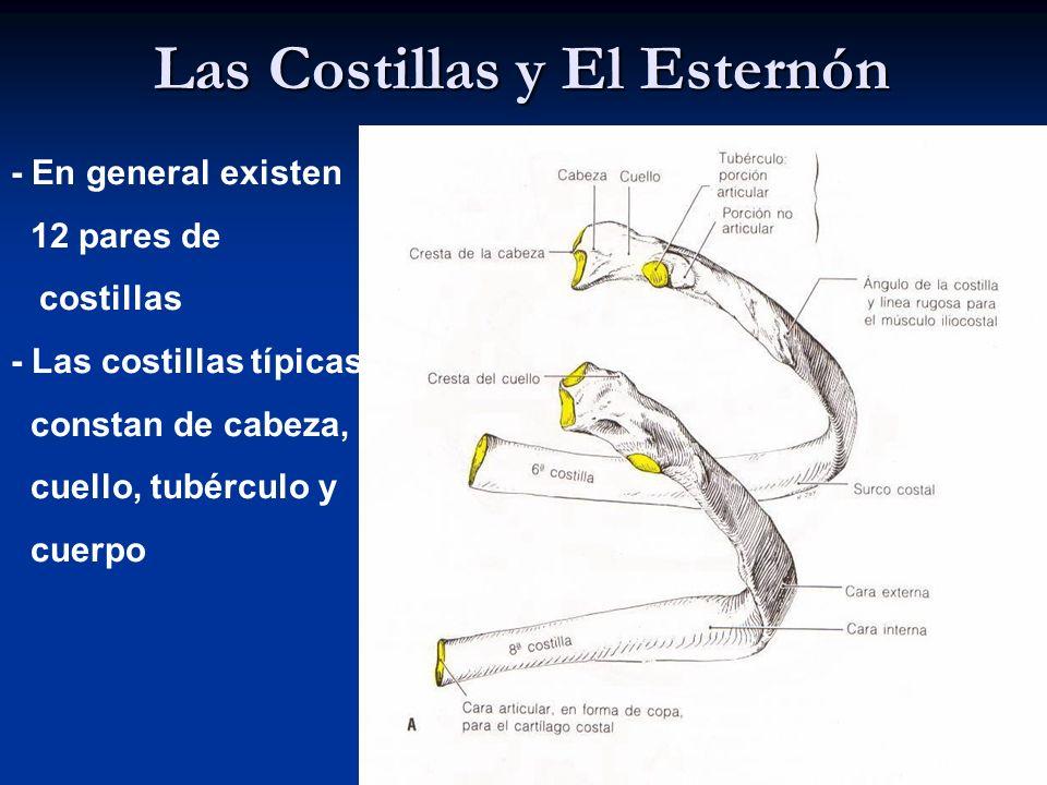 Las Costillas y El Esternón - En general existen 12 pares de costillas - Las costillas típicas constan de cabeza, cuello, tubérculo y cuerpo