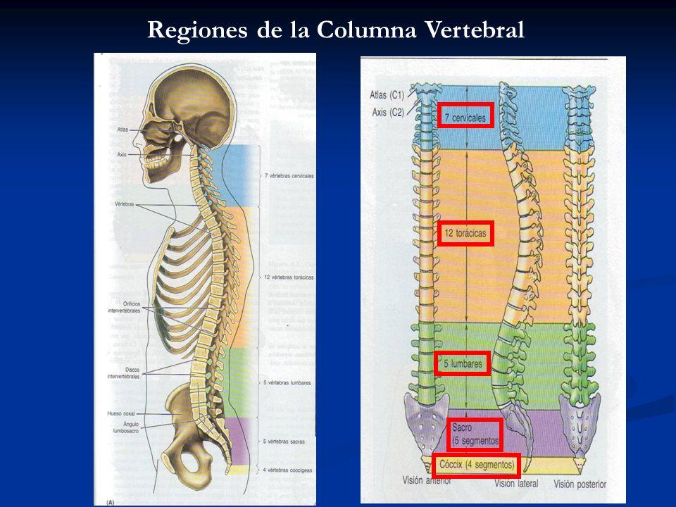 Procesos: En las diferentes vértebras encontraremos: - Procesos Espinosos - Procesos Transversos - Procesos Articulares
